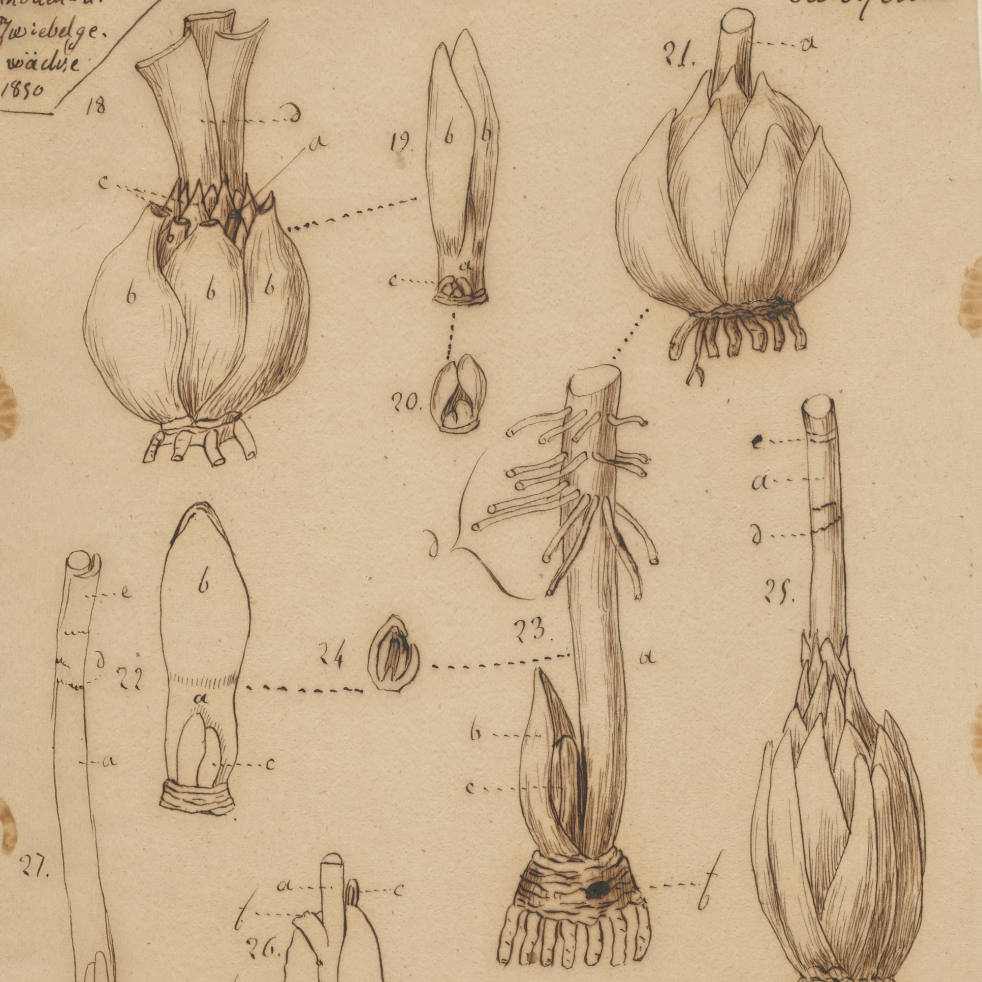 The Scientific Notebooks of French Lily Specialist Pierre Étienne Simon Duchartre